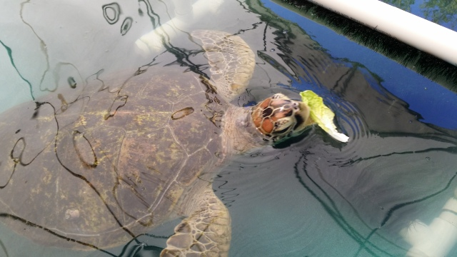 Green Sea Turtle rehab