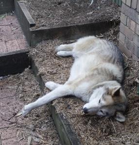 Wolf Asleep