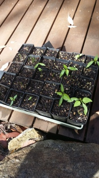 Chilli seedlings